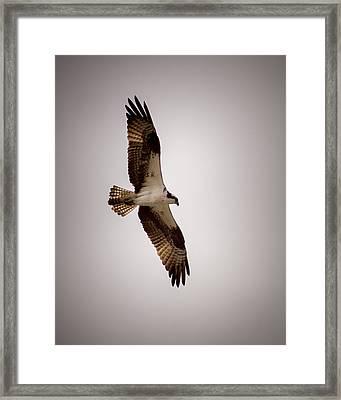 Osprey Framed Print by Ernie Echols