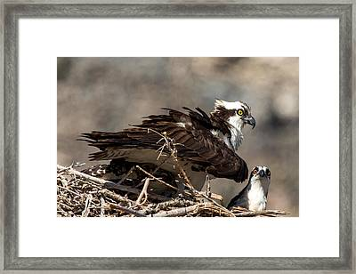 Osprey Family Huddle Framed Print by John Daly