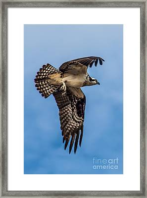 Osprey Flying Away Framed Print by Robert Bales