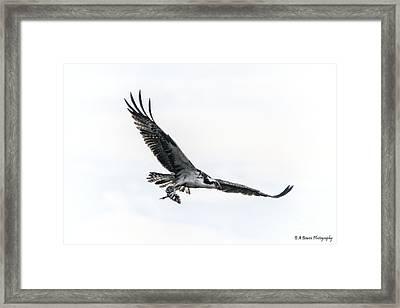 Osprey In Flight Framed Print by Barbara Bowen