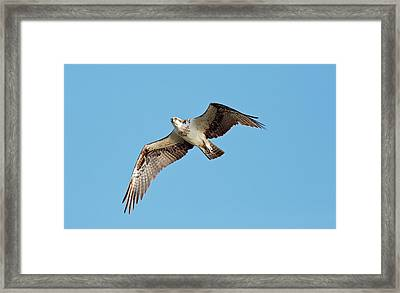 Osprey In Flight Framed Print by Bob Gibbons