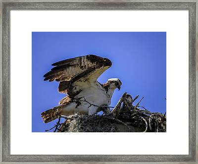 Osprey In The Nest Framed Print by Zina Stromberg