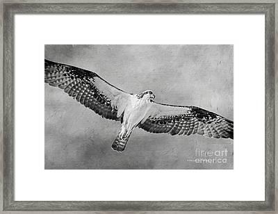Osprey Medicine Framed Print by Deborah Benoit