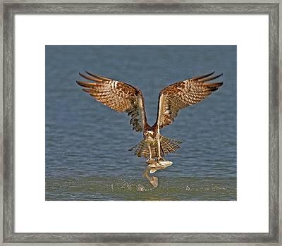 Osprey Morning Catch Framed Print by Susan Candelario