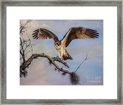 Osprey On The Branch Framed Print by Zina Stromberg