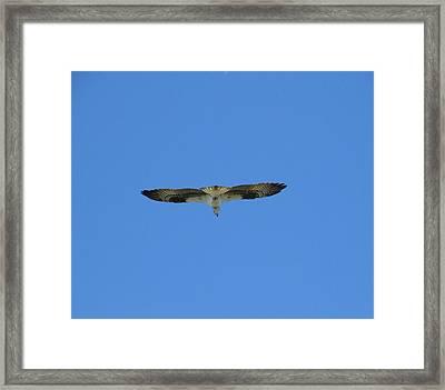 Osprey On The Fly Framed Print by Zina Stromberg