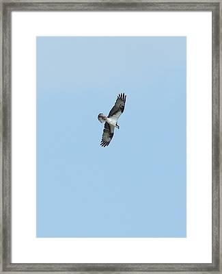 Osprey Overhead Framed Print by Lynda Dawson-Youngclaus