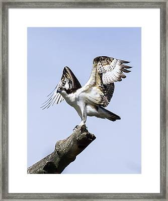Osprey Pride 6 Framed Print by David Lester