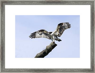 Osprey Pride  Framed Print by David Lester