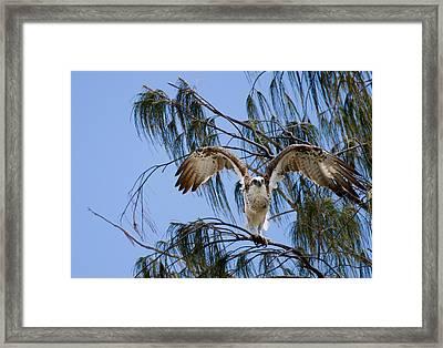 Osprey Take Off Framed Print by Mr Bennett Kent