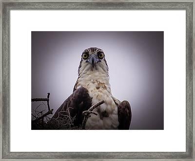 Osprey Watching I Framed Print by Zina Stromberg