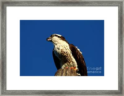 Osprey With Dinner Leftovers Framed Print by Christiane Schulze Art And Photography