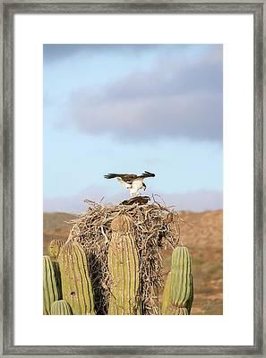 Ospreys Nesting In A Cactus Framed Print by Christopher Swann