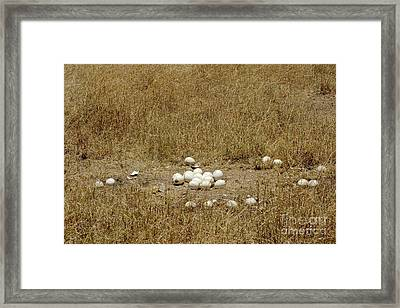 Ostrich Eggs At Nest Site Framed Print by Gregory G. Dimijian, M.D.