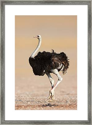 Ostrich Framed Print by Johan Swanepoel