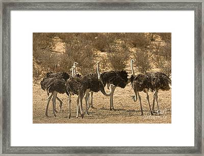 Ostriches Framed Print by Bob Gibbons