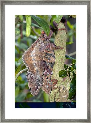 Oustalet's Chameleons Mating Framed Print by Science Photo Library