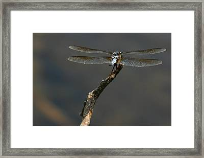 Out On A Limb Framed Print by Karol Livote