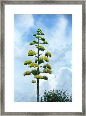 Outstanding Blooming Agave Plant Framed Print by Linda Phelps