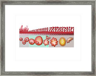 Ovarian And Uterine Cycles Framed Print by Gunilla Elam