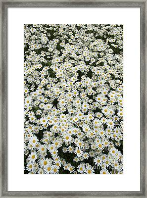 Oxeye Daises Framed Print by Tim Gainey