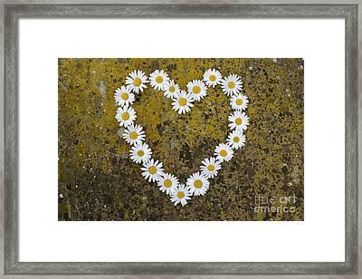 Oxeye Daisy Heart Framed Print by Tim Gainey