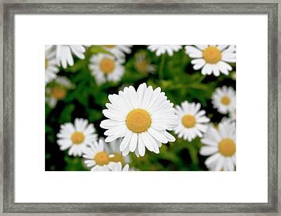 Oxeye Daisy (leucanthemum Vulgare) Framed Print by Dan Sams