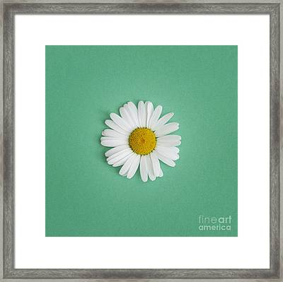 Oxeye Daisy Square Green Framed Print by Tim Gainey