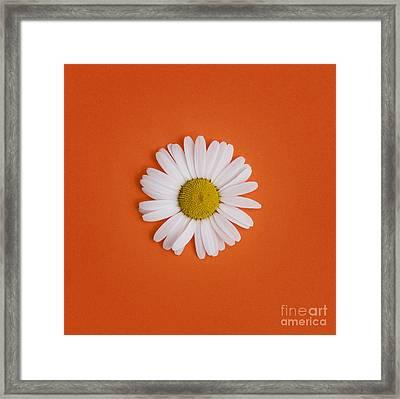 Oxeye Daisy Square Orange Framed Print by Tim Gainey