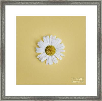 Oxeye Daisy Square Yellow Framed Print by Tim Gainey