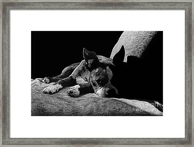 Ozzy The Boston Terrier Framed Print by Chris Trudeau