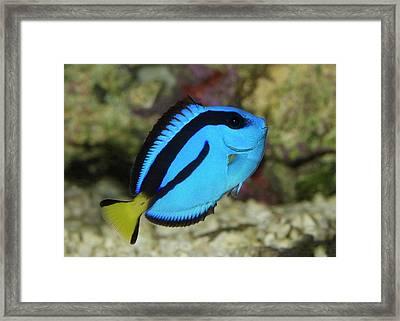 Pacific Blue Tang Framed Print by Nigel Downer