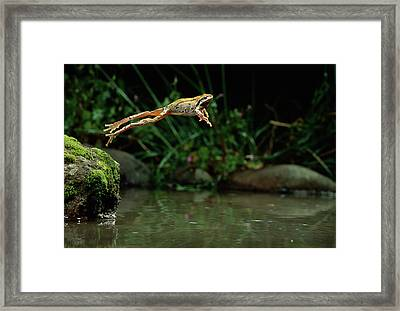 Pacific Chorus Frog Jumping Framed Print by Michael Durham