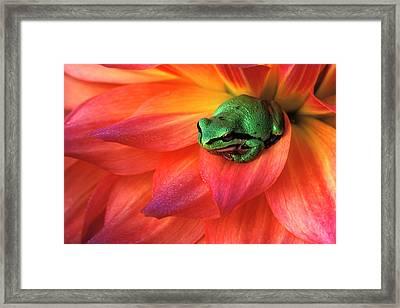 Pacific Chorus Frog On Dahlia Framed Print by Jaynes Gallery