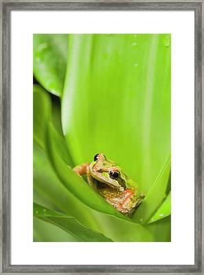 Pacific Chorus Frog  Pseudacris Regilla Framed Print by Corey Hochachka