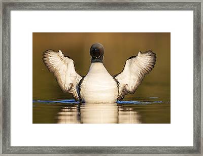 Pacific Loon Wing Flap Framed Print by Tim Grams