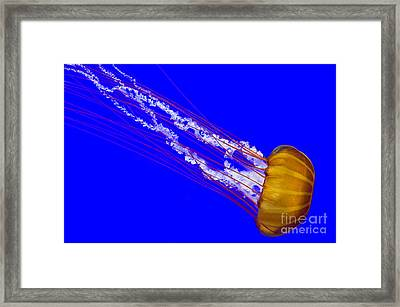 Pacific Sea Nettle Framed Print by Nick  Boren