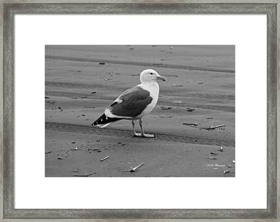 Pacific Seagull In Black And White Framed Print by Jeanette C Landstrom