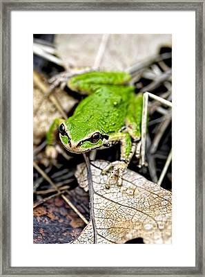 Pacific Tree Frog 2a Framed Print by Sharon Talson