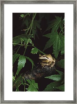 Pacific Tree Frog North America Framed Print by Gerry Ellis