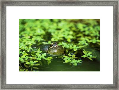 Pacific Tree Frog  Pseudacris Regilla Framed Print by Robert L. Potts