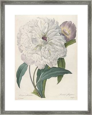 Paeonia Flagrans Peony Framed Print by Pierre Joseph Redoute
