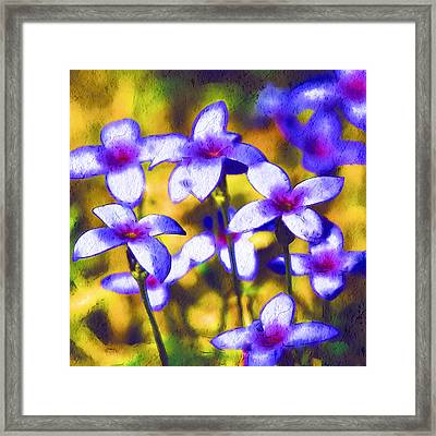 Painted Bluets Framed Print by Kathy Clark