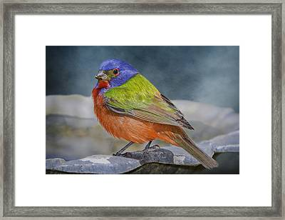 Painted Bunting In April Framed Print by Bonnie Barry