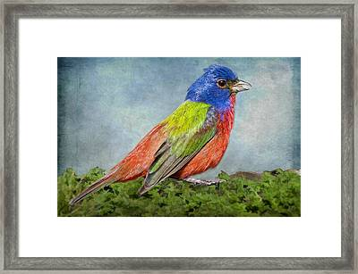 Painted Bunting Portrait Framed Print by Bonnie Barry