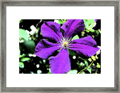 Painted Clematis Framed Print by Christiane Schulze Art And Photography
