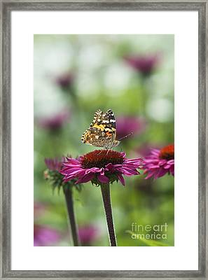 Painted Lady Butterfly  Framed Print by Tim Gainey