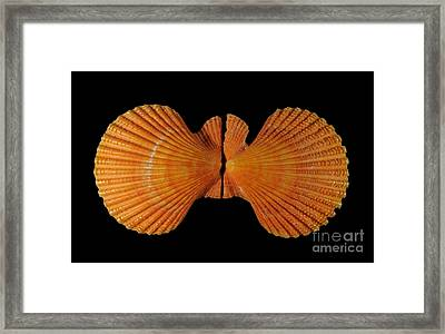 Painted Scallop Framed Print by Scott Camazine