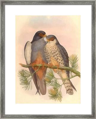 Pair Amur Falcons Framed Print by Vintage File Collection