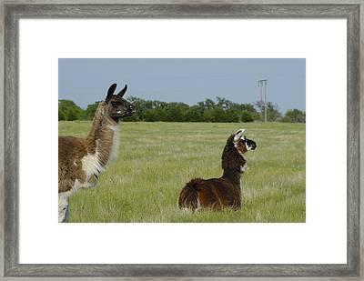 Pair Of Alpacas Framed Print by Charles Beeler